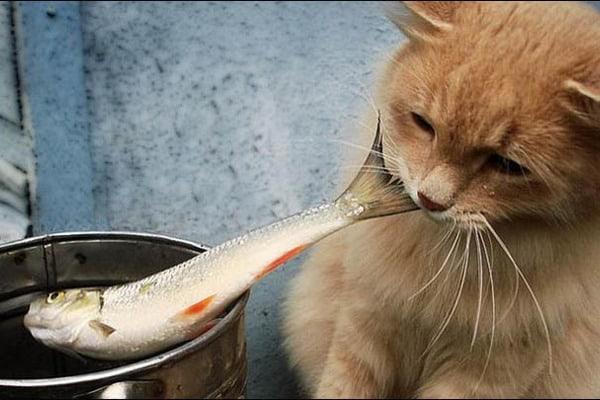 Кот ворует рыбу