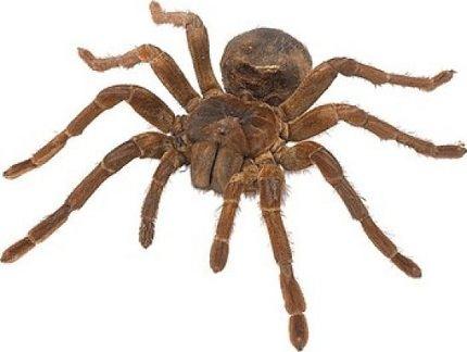 Большой паук