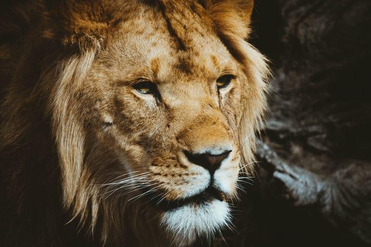 лев любовный гороскоп