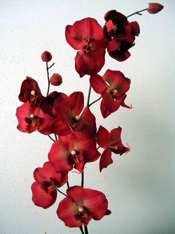 красная орхидея - символ страсти и любви