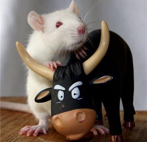 совместимость бык крыса в отношениях