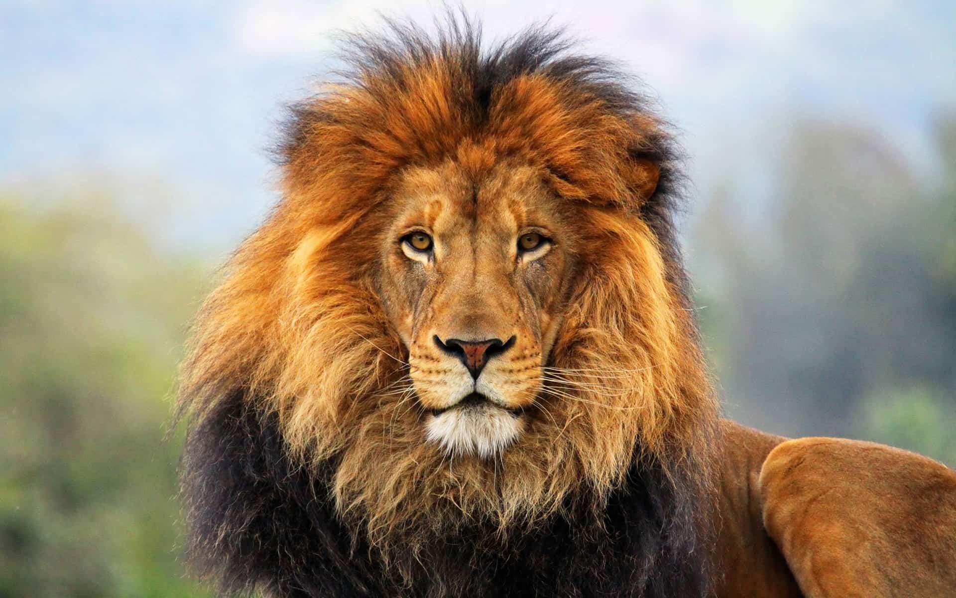 львы картинки классные банды различаются