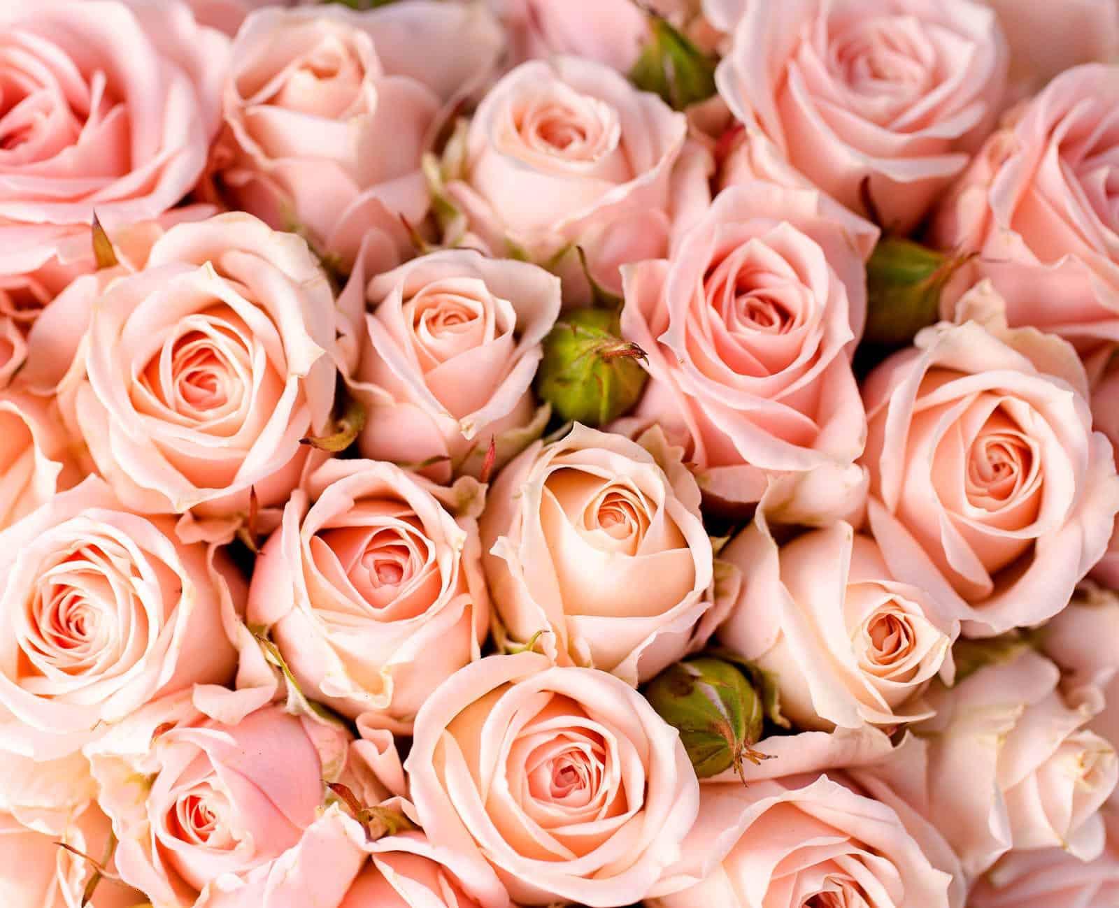 цвета роз характеристика