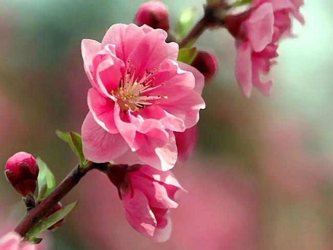 цветки сакуры фото