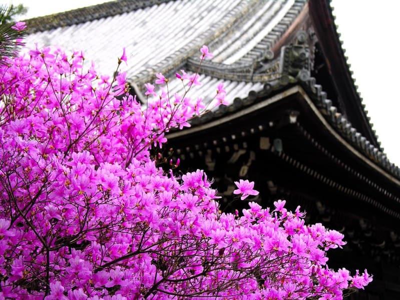 сакура - очень красивое растение