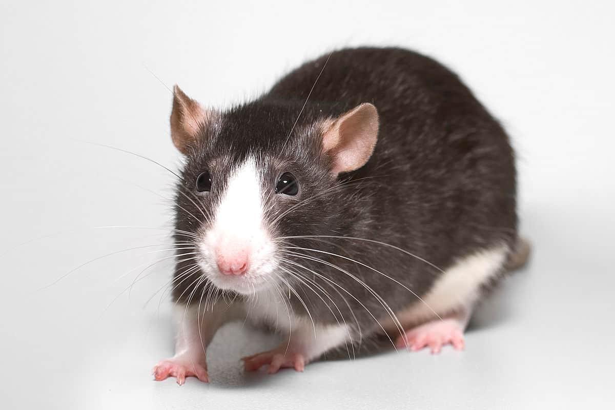знак Восточного гороскопа Крыса