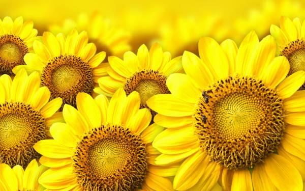 жёлтые подсолнухи