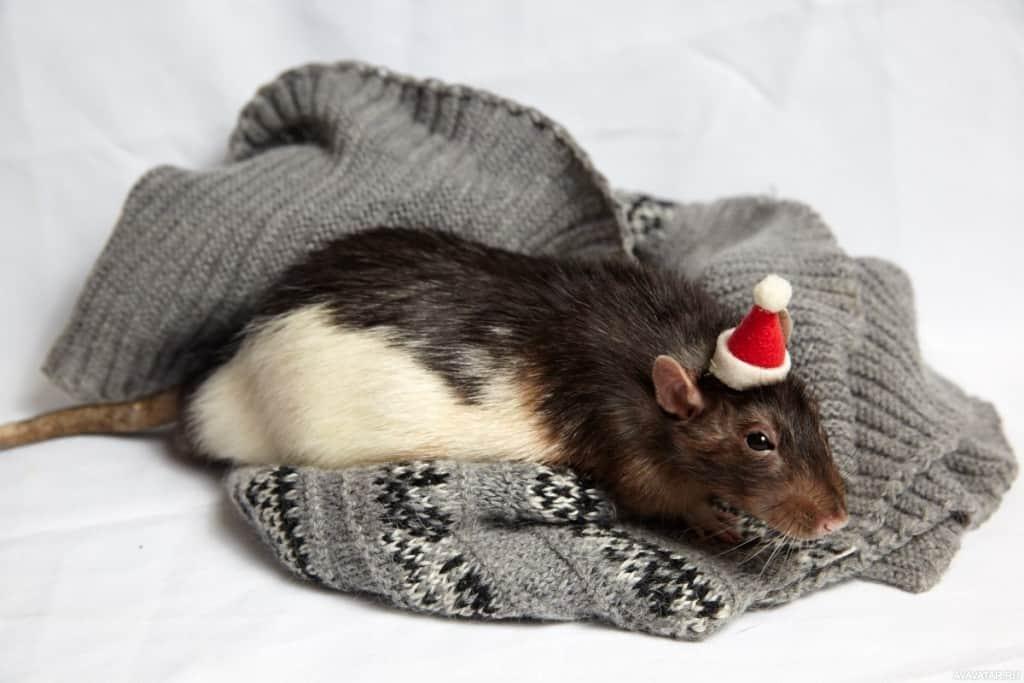 Год Крысы: какие года рождения, характеристика знака
