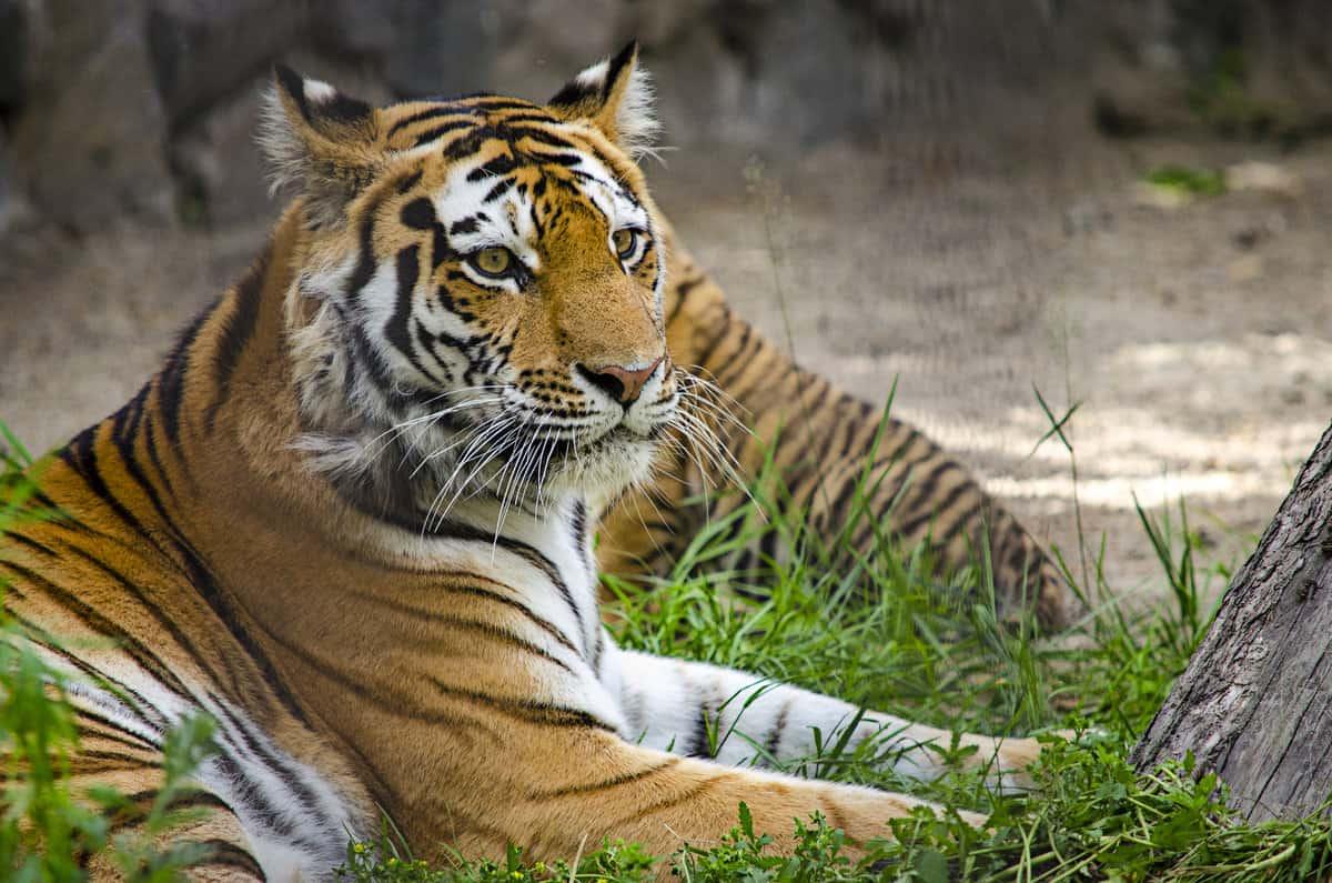 Год Тигра какие года рождения, характеристика знака
