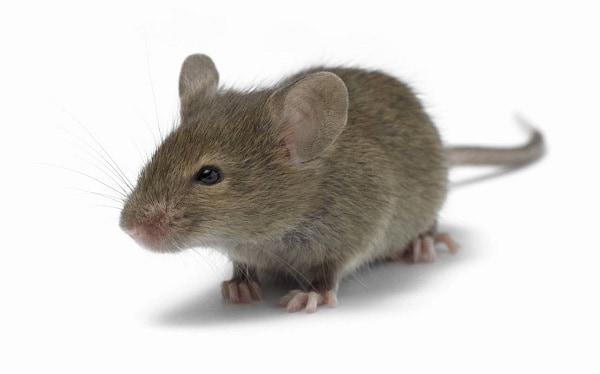 К чему снится мышка живая