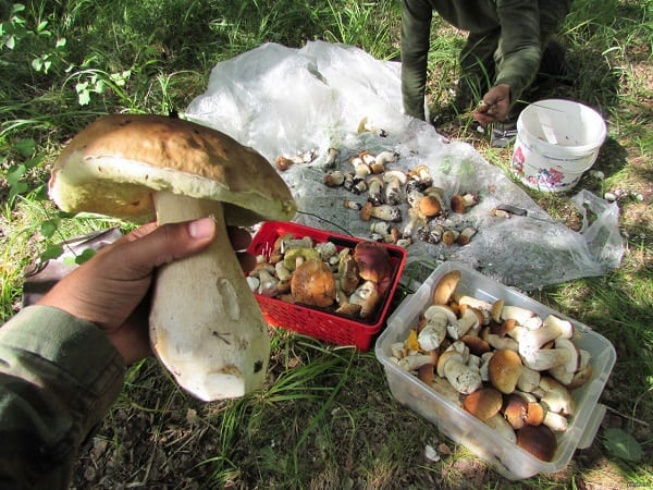 Сон собираю белые грибы с бывшим мужем
