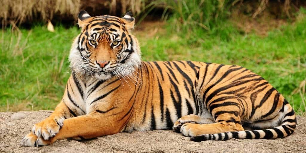 Читра - знак тигрицы