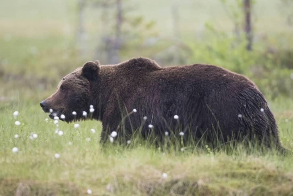 К чему снится медведь - толкование по сонникам