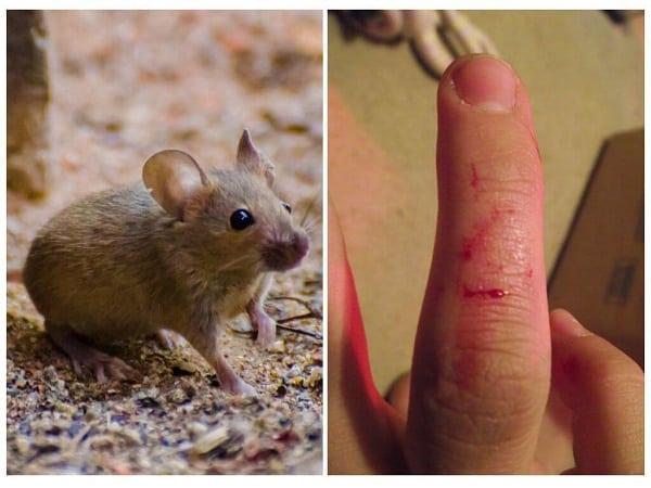 К чему снится мышка по сонникам - добрая или кусачая