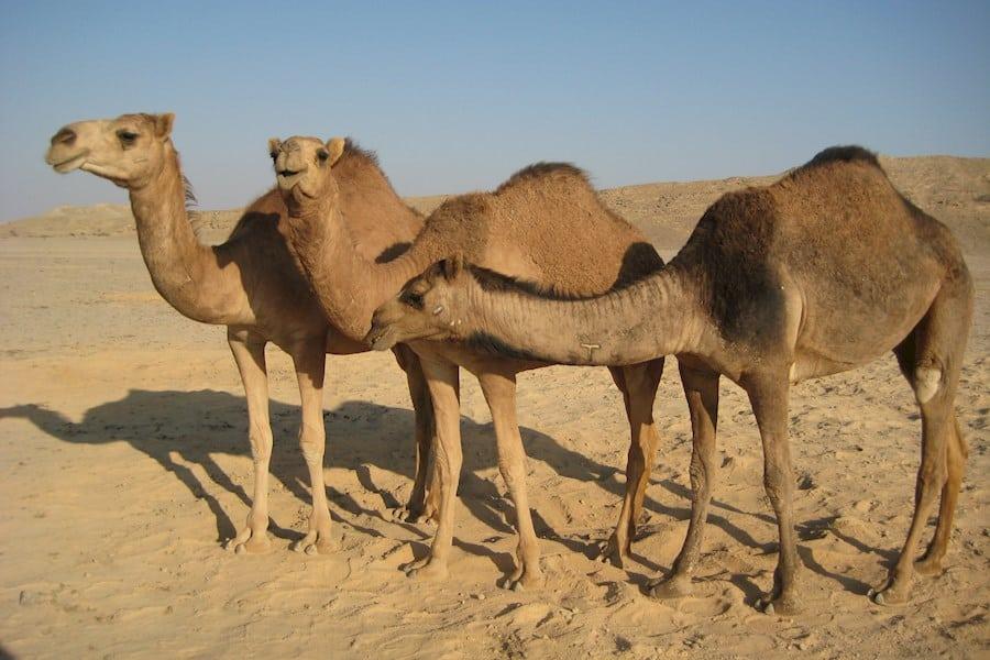 К чему снится верблюд по сонникам