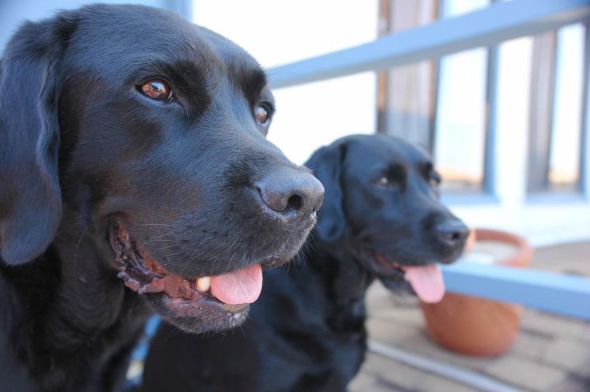 много собак сонник