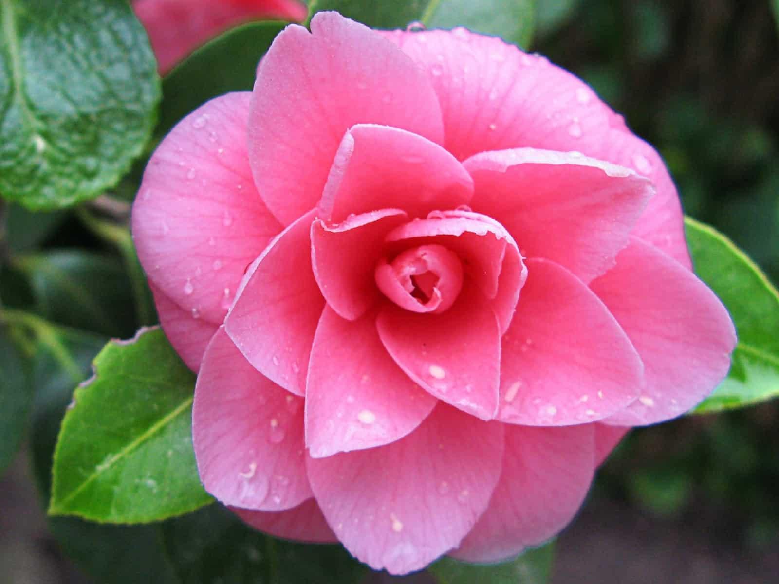 розы сонник