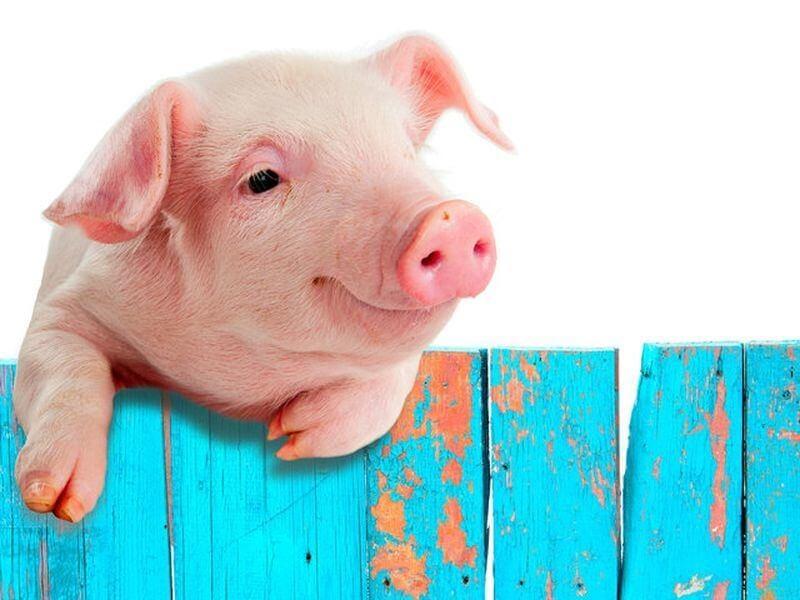 Свинка - настоящий трудоголик