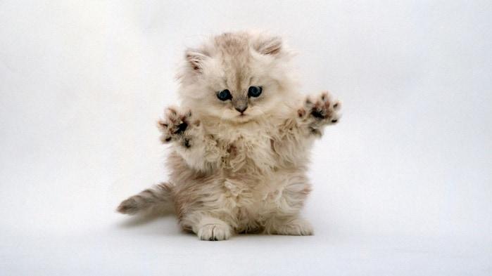 кот восточный гороскоп