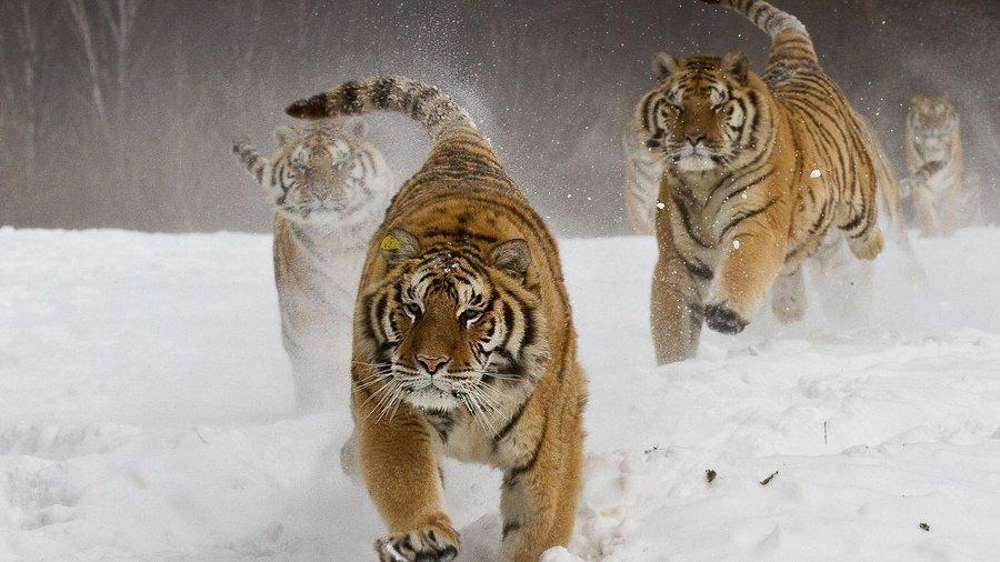 Тигр олицетворяет собой силу и энергию