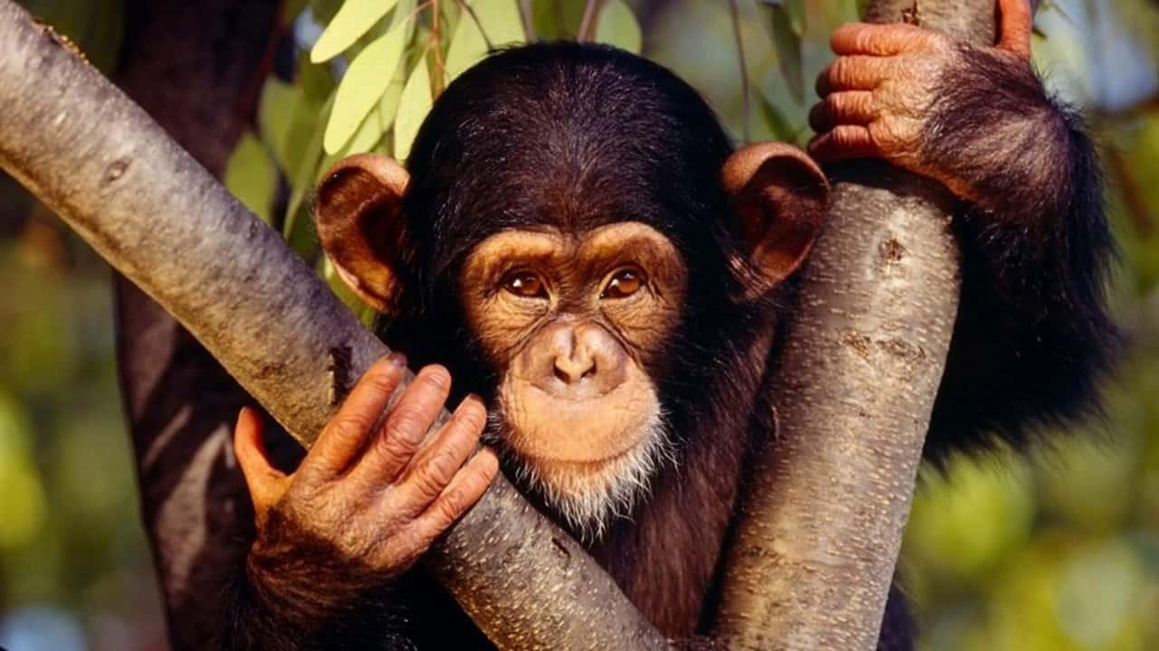 обезьяна восточный гороскоп