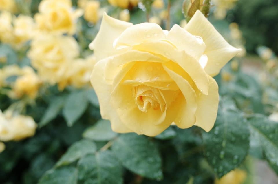 нежно-жёлтая розочка