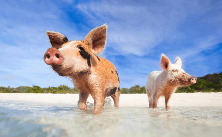 Свинка добрая и сострадательная