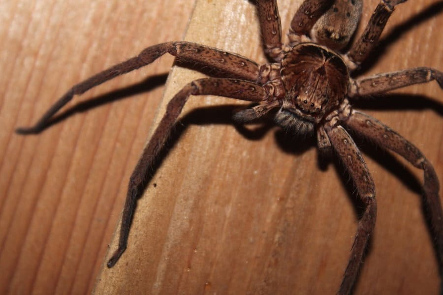 к чему снится паук большой