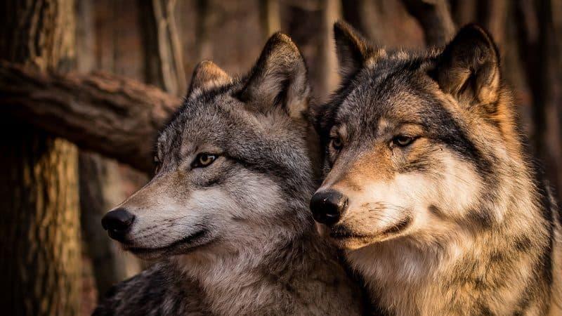 приснился волк