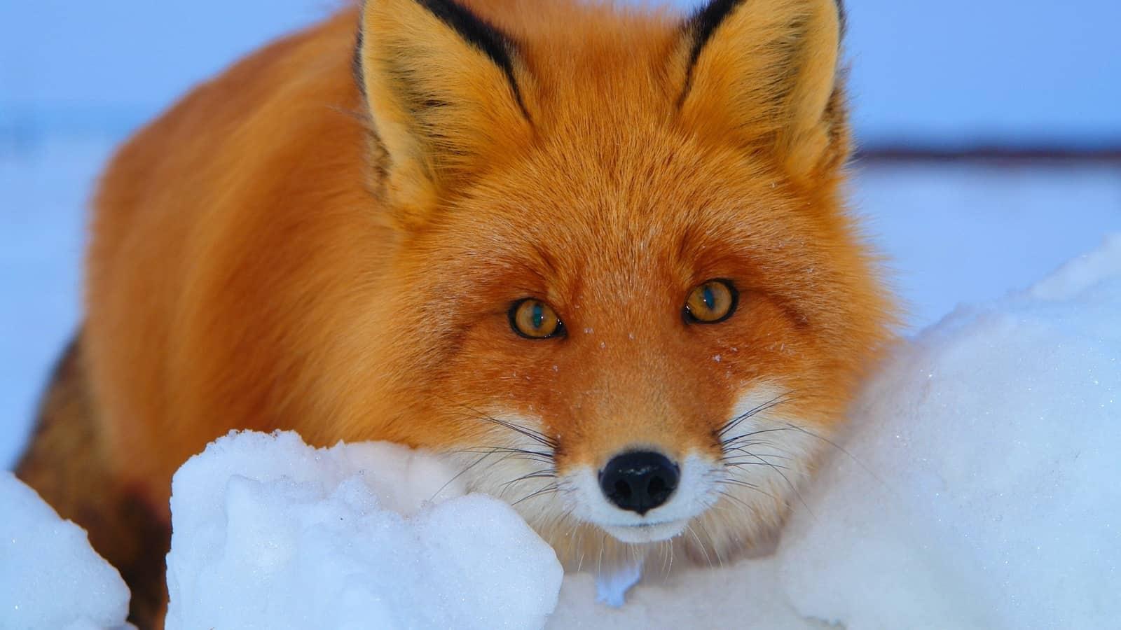 К чему снится лиса - толкование по сонникам