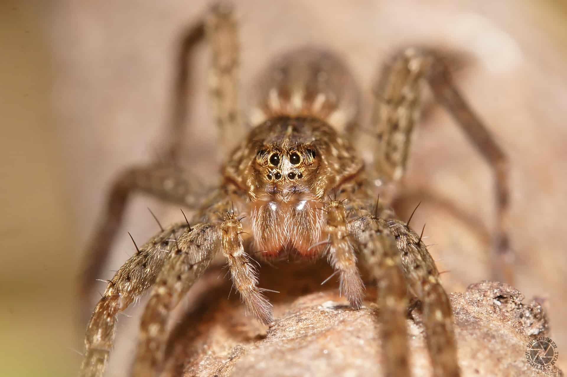 большой паук сонник