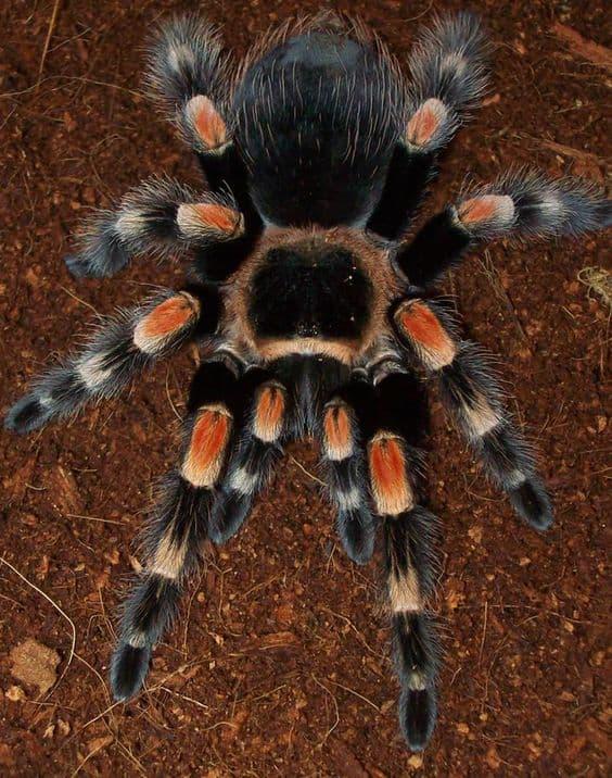 сонник пауки много