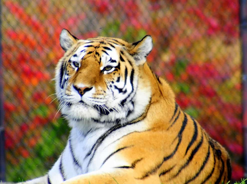 год земляного тигра