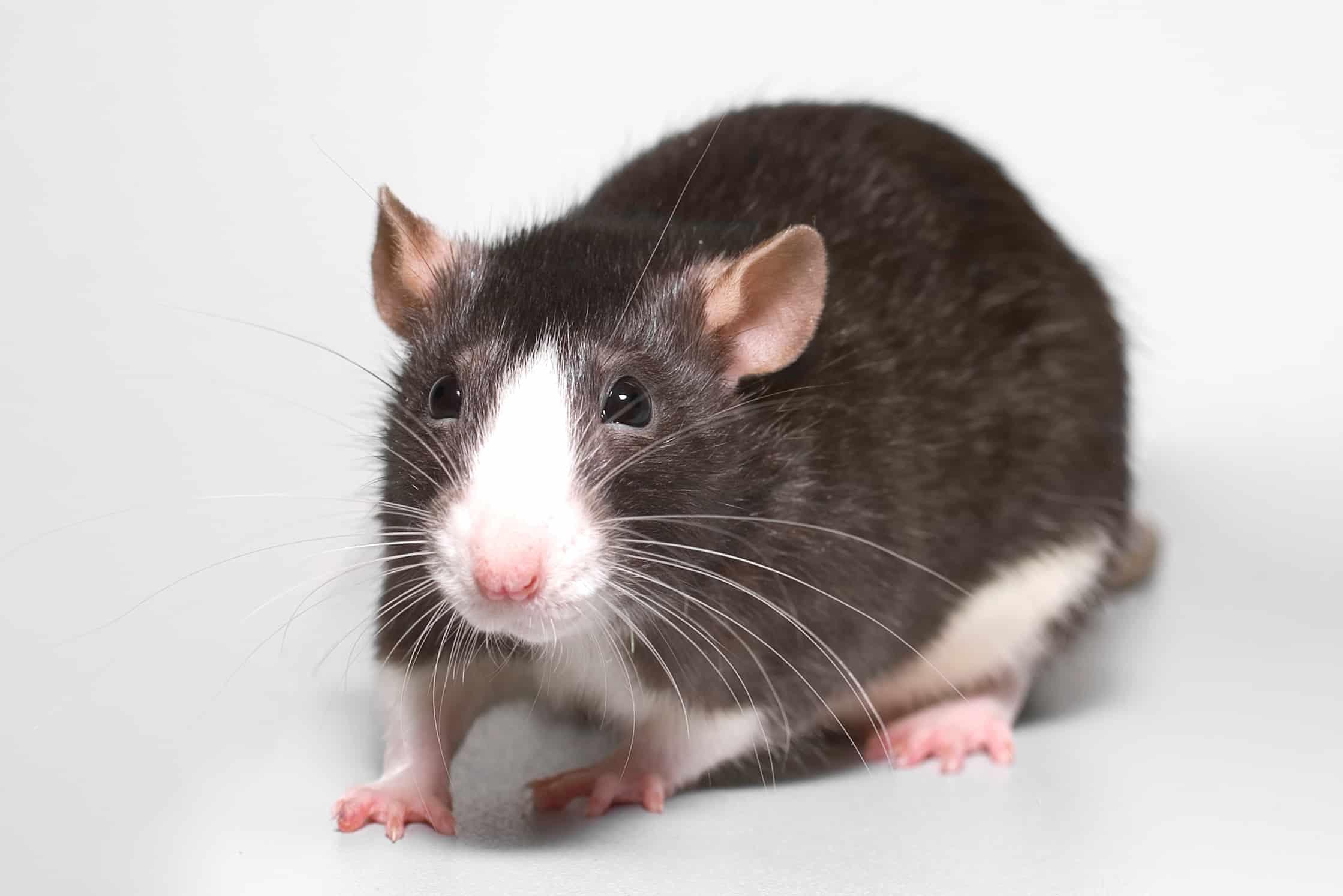 крысе досталось первое место в гороскопе