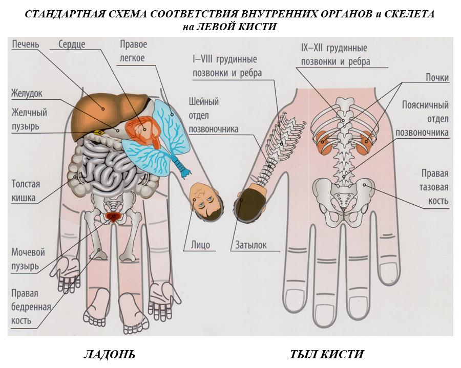 схема соответствия точек органам