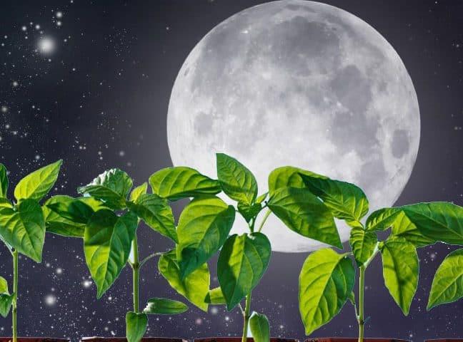 ночное светило влияет на растения