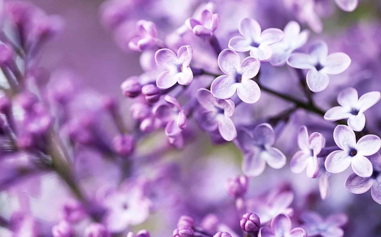 сиреневый цвет впечатляет своей красотой