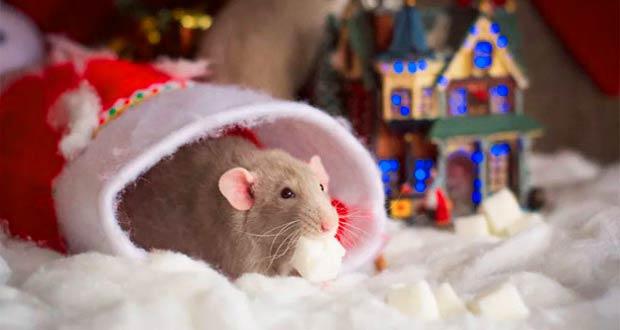 Что нам принесет 2020 год крысы по гороскопу