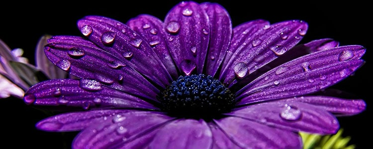 фиолетовый цветок фото