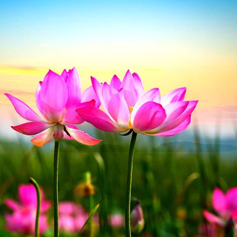 цветок лотоса значение